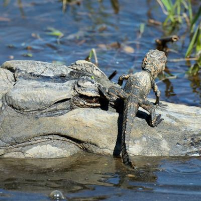 Image of an American Alligator mother with a young alligator on her head
