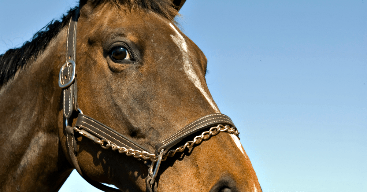 close-up of a horse wearing a bridle