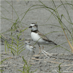 Two Wilsons Plovers on the beach