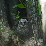 Barred Owl in a tree