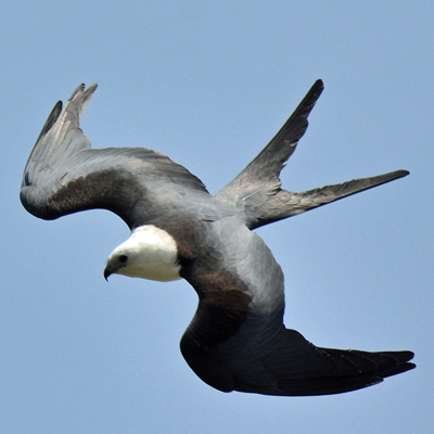 Swallow-tail Kite