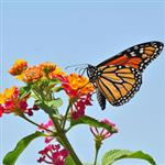 Image of a Monarch Butterfly on a lantana branch